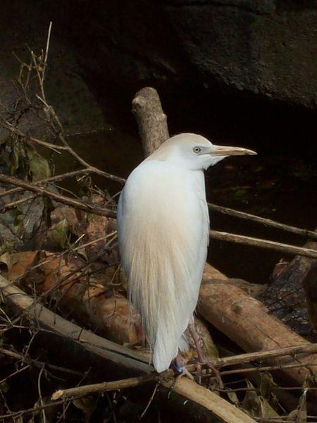 A cattle egret with its neck retracted.