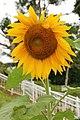Cebu Inland Mountains 2017 sunflower.jpg