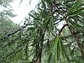 Cedrus deodara foliage, Cloud's End nature trail, Mussorie, India.jpg