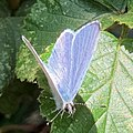 Celastrina argiolus-Azuré des Nerpruns (c)-20200529.jpg