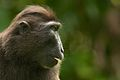 Celebes crested macaque II (13945312762).jpg