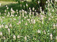 Celosia argentea2