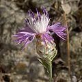 Centaurea alba.jpg