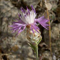 Centaurea alba