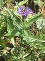 Centaurea montana02.jpg