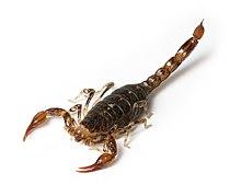 Scorpione (zoologia)