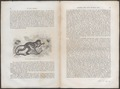 Cercopithecus ruber - 1700-1880 - Print - Iconographia Zoologica - Special Collections University of Amsterdam - UBA01 IZ19900146.tif