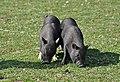 Cerdo Tailandes-Naturlandia (3).jpg