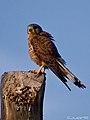 Cernicalo vulgar (falco tinnunculus canariensis)(♂) (4589250339).jpg