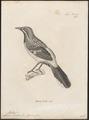 Chaetops frenatus - 1700-1880 - Print - Iconographia Zoologica - Special Collections University of Amsterdam - UBA01 IZ16300351.tif
