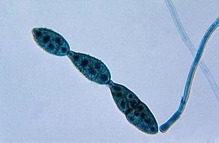 Conidium Asexual, non-motile spore of a fungus