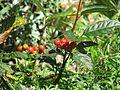 Chamaemespilus alpinus - Flickr - peganum (1).jpg