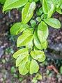 Chaneomeles japonica in La Jaysinia (4).jpg