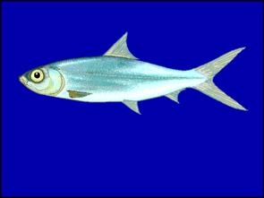 Milchfisch (Chanos chanos)