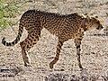 Cheetah (Acinonyx jubatus) collared female ... (51005743612).jpg