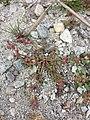 Chenopodium rubrum (s. str.) sl61.jpg