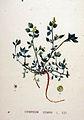 Chenopodium vulvaria — Flora Batava — Volume v20.jpg