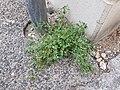 Chenopodium vulvaria sl97.jpg