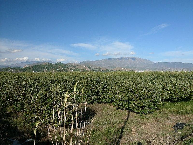 plantation de cherimoya en Espagne