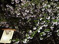 """Cherry-Blossom-Viewing through the """"Tunnel"""" at Japan Mint in 201504 055.JPG"""