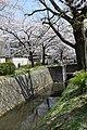 Cherry Blossom @ Philosopher's Path ,Kyoto - panoramio.jpg