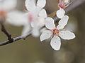 Cherry blossom (12876622065).jpg