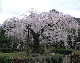 Cherry blossoms in Kyoto.jpg