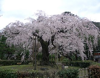Maruyama Park - Image: Cherry blossoms in Kyoto