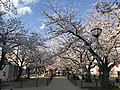 Cherry blossoms near Zasshonokuma Station 20190401-5.jpg
