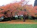 Cherry tree autumn grove (10749437603).jpg