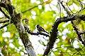Chestnut-backed chickadee (36491596885).jpg