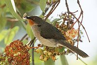 Chestnut throated apalis1