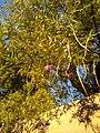 Chilopsis linearis by Prahlad balaji.jpg