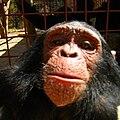 Chimpanzee selfie.jpg