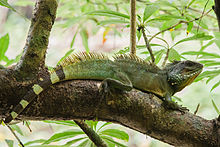 Chinese Water Dragon (Physignathus cocincinus) - Khao Yai National Park - 3.jpg