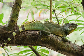 Chinese water dragon - Image: Chinese Water Dragon (Physignathus cocincinus) Khao Yai National Park 3