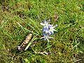 Chionodoxa forbesii05.jpg