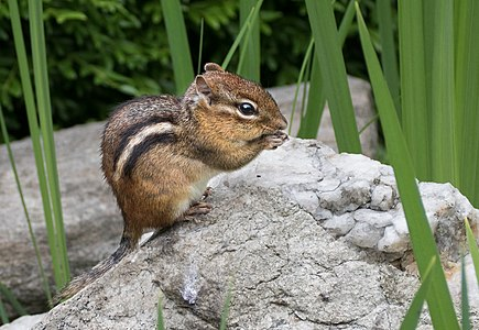 Eastern chipmunk (Tamias striatus) nibbling in the New York Botanical Garden