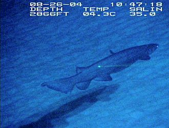 Frilled shark - First known footage of a frilled shark in its natural habitat, recorded on the Blake Plateau in 2004