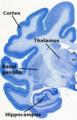Chlorocebus-nissl-brainmaps.png