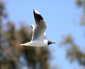 Brown-hooded gull - In flight, San Miguel del Monte, Buenos Aires, Argentina