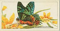 Chrysiridia Cigarette card.jpg