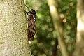 Cicada (9656578256).jpg