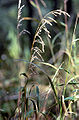 Cinna arundinacea.jpg