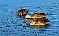 Cinnamon Teal Feeding Seedskadee NWR (16070311790).jpg