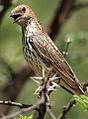 Cinnyricinclus leucogaster, Pilanesberg 6.jpg