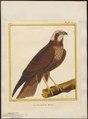 Circus aeruginosus - 1700-1880 - Print - Iconographia Zoologica - Special Collections University of Amsterdam - UBA01 IZ18300181.tif
