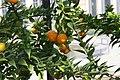 Citrus aurantium var. myrtifolia Chinotto 3zz.jpg