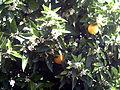 Citrus sinensis SolanadelPino.jpg