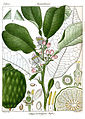 Citrus vulgaris.jpg